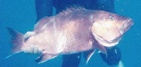 Lutjanus dentatus, African brown snapper: fisheries, gamefish