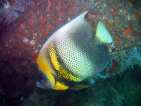 Pomacanthus zonipectus, Cortez angelfish: fisheries, aquarium