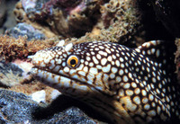 Muraena melanotis, Honeycomb moray: fisheries