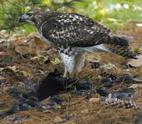 Image of: Buteo jamaicensis (red-tailed hawk), Sciurus carolinensis (eastern gray squirrel)
