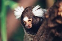 Callithrix jacchus - White-tufted-ear Marmoset