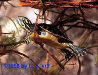 Image of: Pseudemys nelsoni (Florida red-bellied turtle)