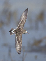White-rumped Sandpiper (Calidris fuscicollis) photo