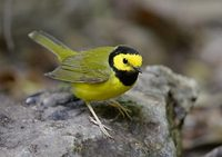 Hooded Warbler (Wilsonia citrina) photo