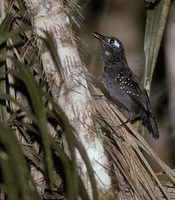 Plumbeous Antbird (Myrmeciza hyperythra) photo