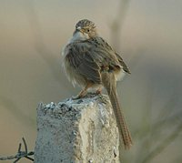 Common Babbler - Turdoides caudatus