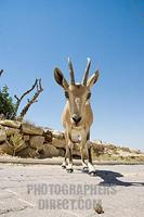 Israel , Mitzpe Ramon , young Nubian Ibex ( Capra ibex nubiana ) facing the camera stock photo
