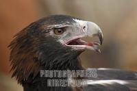 Wedge tailed Eagle ( Aquila audax ) stock photo