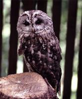 Common name: Tawny Owl; Tawny Wood-Owl