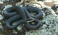 : Coluber constrictor constrictor; Northern Black Racer