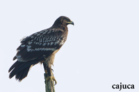 Greater Spotted Eagle ( Aquila clanga )