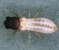 Cryptotermes brevis - West Indian drywood termite