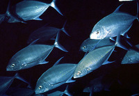 Carangoides orthogrammus, Island trevally: fisheries, gamefish