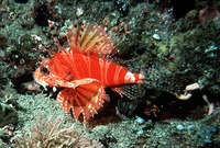 Dendrochirus zebra, Zebra turkeyfish: fisheries, aquarium