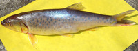 Raiamas bola, Trout barb: fisheries, gamefish
