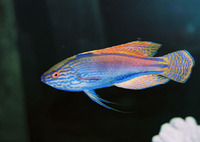 Cirrhilabrus lineatus, Purplelined wrasse: aquarium