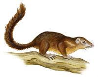 Image of: Tupaia glis (common tree shrew)