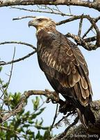 Image of: Haliaeetus leucogaster (white-bellied sea eagle)