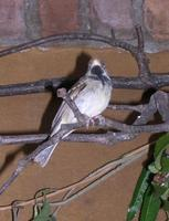 Image of: Sporophila peruviana (parrot-billed seedeater)