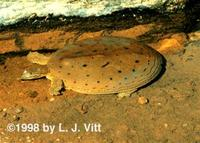 Image of: Apalone spinifera (spiny softshell turtle)