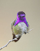 Costa's Hummingbird (Calypte costae) photo