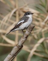 Pied Flycatcher (Ficedula hypoleuca) photo