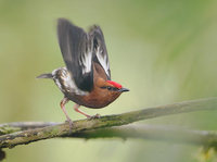 Club-winged Manakin (Machaeropterus deliciosus) photo