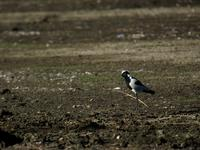 Blacksmith plovers (Vanellus armatus) are fairly common birds in South Africa.