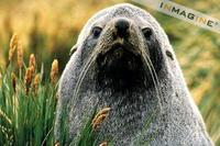 Sub-antarctic Furseal (Arctocephalus tropicalis) photo