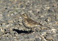 : Anthus rubescens; American Pipit