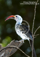 : Tockus erythrorhynchus; Northern Red-billed Hornbill