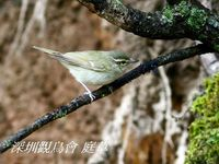 Phylloscopus magnirostris Large-billed Leaf Warbler 烏嘴柳鶯 098-094