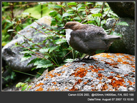Cinclus cinclus White-throated Dipper 河烏 999-687