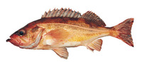Sebastes alutus, Pacific ocean perch: fisheries, gamefish
