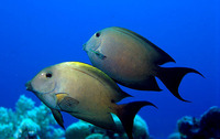 Ctenochaetus striatus, Striated surgeonfish: fisheries, aquarium
