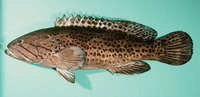 Epinephelus andersoni, Catface grouper: fisheries, gamefish