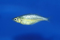 Glossolepis wanamensis, Lake Wanam rainbowfish: aquarium
