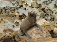 Arctocephalus forsteri - New Zealand Fur Seal