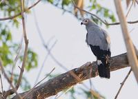 Madagascar Harrier-Hawk (Polyboroides radiatus) photo