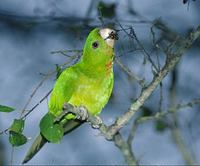 Green Parakeet (Aratinga holochlora) photo