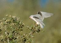 Black-shouldered Kite (Elanus caeruleus) photo