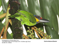 Gold-whiskered Barbet - Megalaima chrysopogon