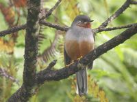 Rufous-throated Solitaire - Myadestes genibarbis