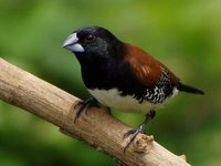 Black-and-white Mannikin - Spermestes bicolor