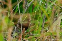 White Bellied Munia(Lonchura leucogastra)
