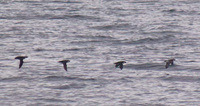 Ancient Murrelet, Synthliboramphus antiquus, off Point Wilson WA