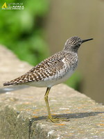 Fig. 11. Wood Sandpiper : 알락도요