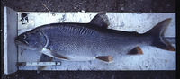 Salvelinus namaycush, Lake trout: fisheries, aquaculture, gamefish