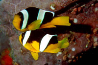 Amphiprion sebae, Sebae anemonefish: aquarium