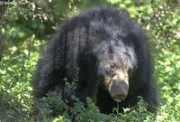 Image of: Melursus ursinus (sloth bear)